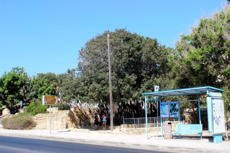 Фисташковое дерево желаний (вид с дороги). г.Пафос. Кипр.